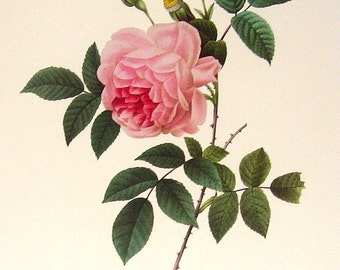 Rosa indica 2 1981 Large Vintage Colored Botanical Book Plate