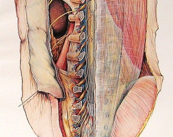 1973 Human Anatomy Colored Illustration Dissection of the Back