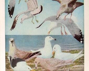 1936 Bird Print FUERTES  Gulls P6