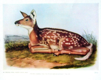 Audubon Virginia Deer Print: 1951 Vintage Audubon Animal Colored Print Book Plate 2 Sided