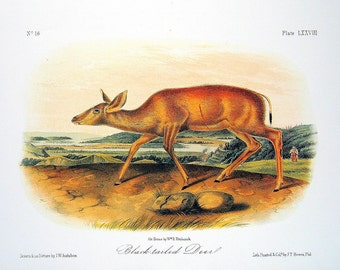 Black Tailed Deer 1989 Vintage Audubon Book Plate Page for Framing Collectible