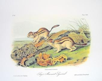 Say's Marmot Squirrel 1989 Vintage Audubon Book Plate Page for Framing Naturalist Illustration