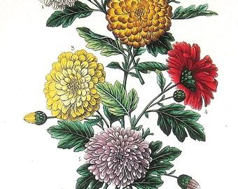 Chrysanthemums 1984 Vintage Book Plate Naturalist Illustration