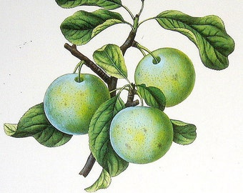 Lawrence's Favorite Plum 1984 Vintage Book Plate Naturalist Illustration