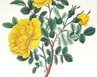 Persian Yellow Rose 1984 Vintage Book Plate Naturalist Illustration