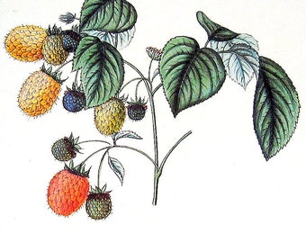 Yellow Raspberry 1984 Vintage Book Plate Naturalist Illustration