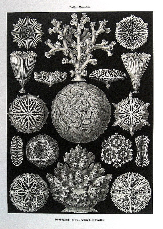 Brittle Stars Ernst Haeckel Art  Vintage Print Book Plate P10