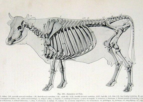 ulna bone diagram 1917 anatomy illustration skeleton of the ox cow p126 cattle bone diagram