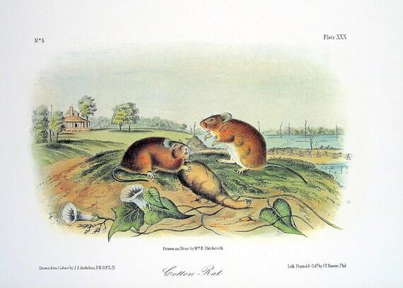 Cotton Rat 1989 Vintage Audubon Book Plate Page for Framing Naturalist Illustration
