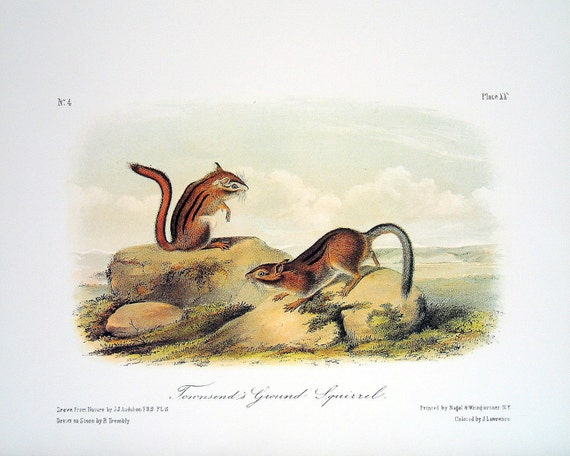Townsend's Ground Squirrel 1989 Vintage Audubon Book Plate Page for Framing Naturalist Illustration
