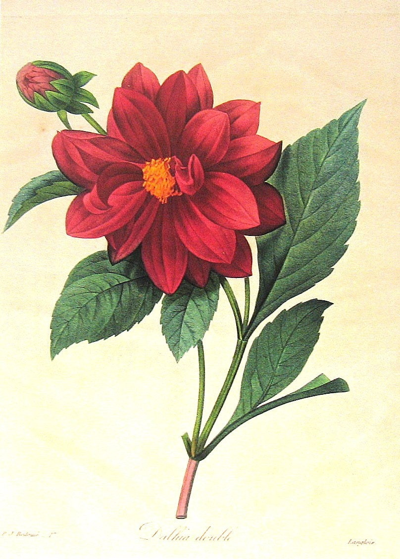 Red Dahlia 1979 Vintage Flowers Book Plate Print p274