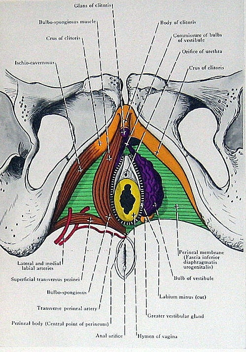 1947 Anatomy Book Plate Perineal Muscles In The Female P189-8877