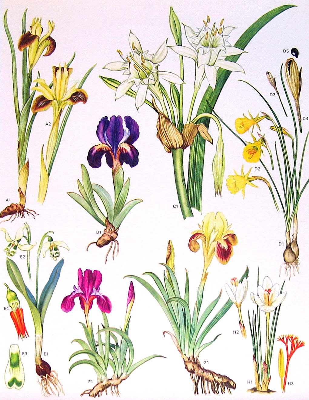 Sea Lily Anatomy