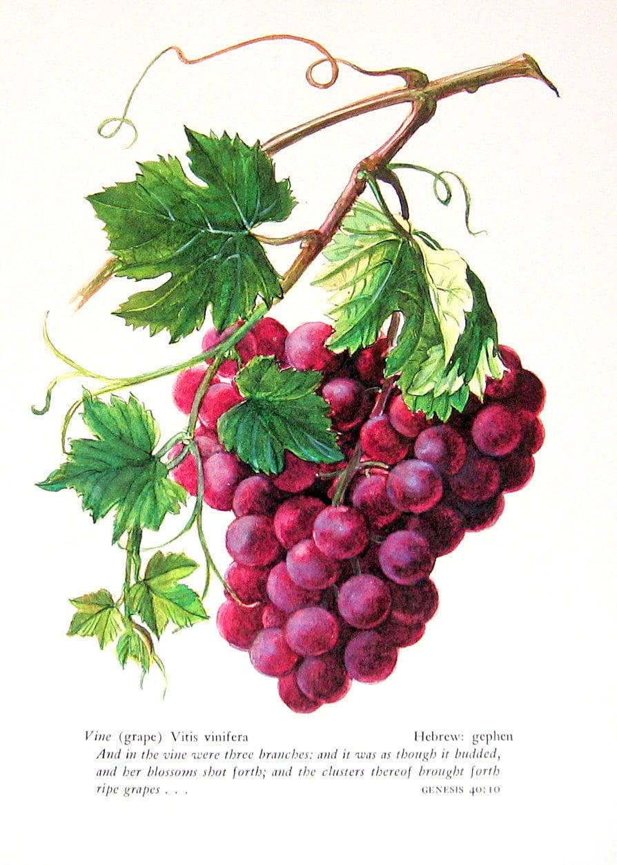 Grapes Vintage 1957 Botanical Print With Bible Verse Book