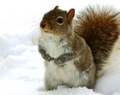Squirrel Winter Photo Christmas Holiday Decor Squirrel Picture Grey Brown White Cute Woodland- 4x6 inch Print -I Would Like The Cookie