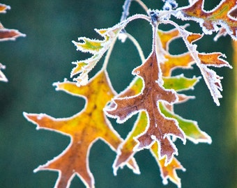 Frozen Leaf Picture Teal Blue Winter Leaves Photo Holiday Decor Orange Frost Wall Art Photography  5x5 inch Print -The Dawn of Winter