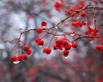 Christmas Holiday Decor, Berries, Nature Photography, Winter, Grey, Holiday, Branches, Berries, Woodland  - 5x7 inch Print - Winter Berries