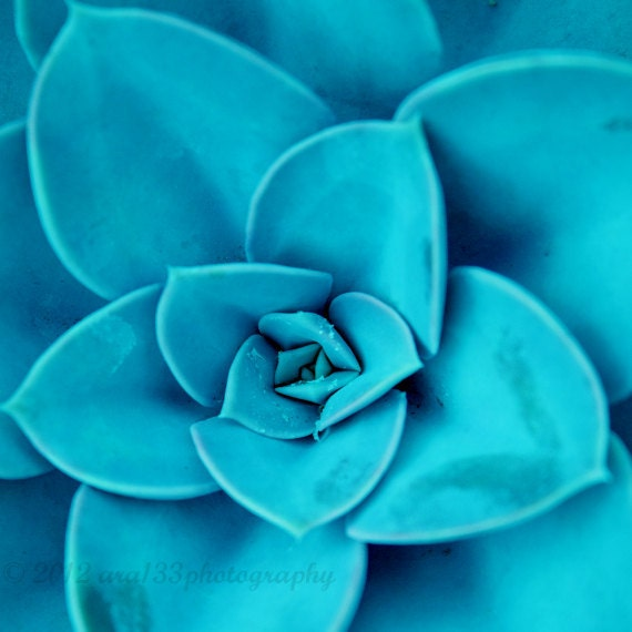 Nature Photography, Teal, Blue, Aqua, Floral, Turquoise, Monochromatic Photo, Wall Decor 5x5 inch Print Succulent