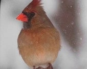 Cardinal on a Snowy Day - Photo Greeting Card