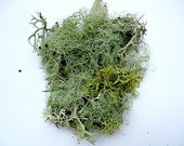 Lichen Moss Terrarium Organic Supplies Raindeer Beard Lichen - Natural Authentic Forest