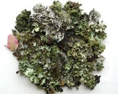 Lichen Moss Terrarium Supplies Twigs Forest Collection No.3