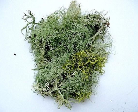 Lichen Moss Terrarium Organic Supplies Raindeer Beard Lichen - Natural Authentic Forest