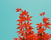 abstract red and turquoise 5x7 fine art photograph - Japanese Maple II