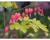 Bleeding Heart Photo Card, Valentine Flower Greeting Card, Mothers Day Card
