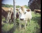 Cow Print, Farm Decor,  Farm Animal, Animal Photography, Animal Art Print, Rustic  Decor,  Country Decor