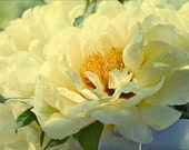 Yellow  Peony Photograph, Flower Photography, Fine Art  Print, Floral Wall Decor. Peony Wall Art, Yellow Bedroom Decor, French Country