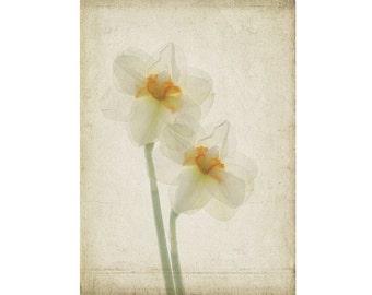 Botanical Print, Daffodil Photograph, Shabby Chic Wall Decor, Nature Wall Art, Daffodil Art,