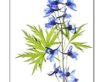 Botanical Photography, Delphinium Print, Floral Art Print, Scanned Flower Botanical Print,  Blue Chartreuse Wall Decor, Minimalist Art