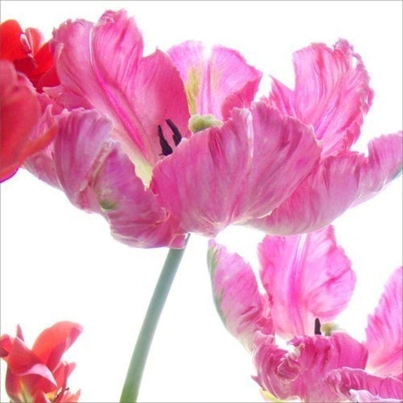 Tulip Photo Card,  Pink Parrot Tulips, Blank Card,  Mothers Day Card