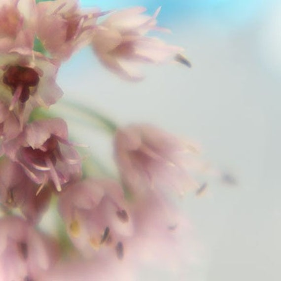 Allium Photo, Pink Flower Print, Macro Photography, Pink Blue Wall Art, Shabby Chic Wall Decor