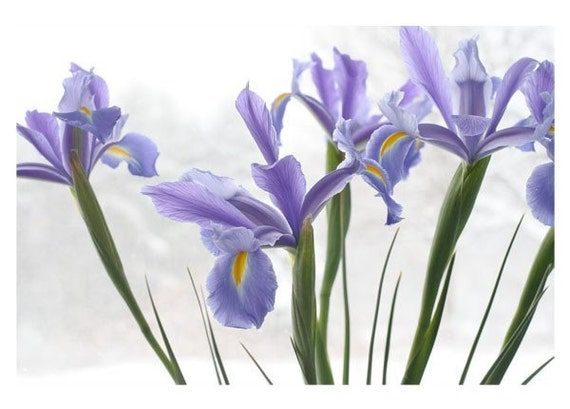 Dutch Iris Christmas Card, Holiday Card,  Iris Flower Photo Greeting Card, Winter Flowers in Snow