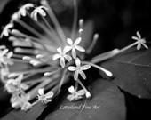 Stunning White Flowers. 8x10 B&W Photo