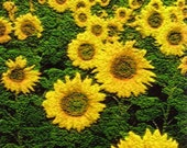 Original Art ACEO - Sunflowers - One-of-a-Kind