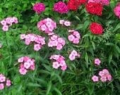 Organic Heirloom Seeds Sweet William Dianthus Barbatus  Z4-8