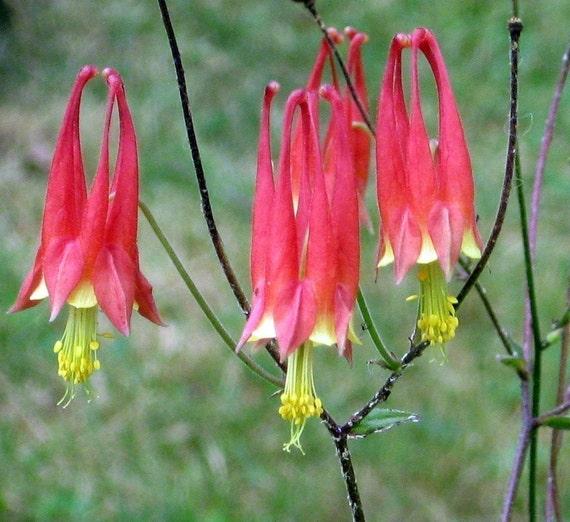 Wild Columbine Aquilegia Canadensis Organic Seeds Hummingbirds love this Z3-8