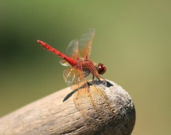 Ruby Dragonfly - 5x7 Fine Art Photograph