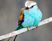 40% off sale Art Photography Metallic photography  5x7 Racquet-tailed Rollar bird  Finalist national contest