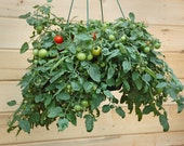 4 Live Tumbling Tom Tomato Plants