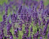 Custom Listing for Jessica 3 Wedding Favor Heirloom Lavender Seeds Hidcote Blue English Perennial Herb