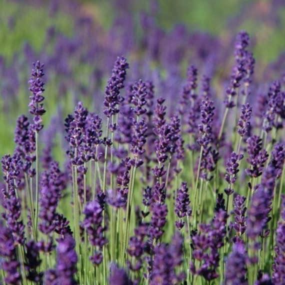 Custom Listing for Jessica 3 Wedding Favor Heirloom Lavender Seeds Hidcote Blue English Perennial Herb