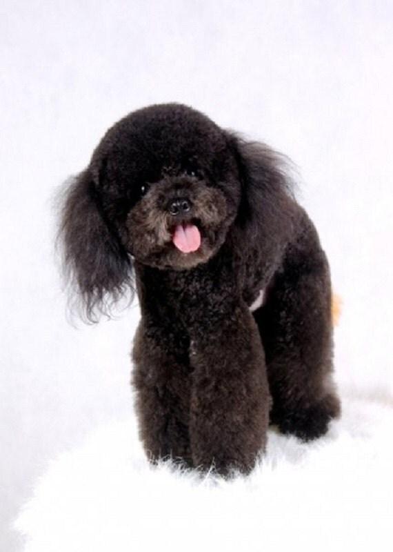RESERVED Needle Felted Dog / Custom Miniature / Tango Poodle