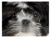 Shih Tzu Close Up Note Card