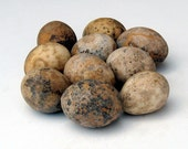 Egg Gourds 10 Small Organically Grown Natural Bowl Filler Minimal Decor Nature Crafts Rustic Primitive Hearth Mantle Basket Curiosities