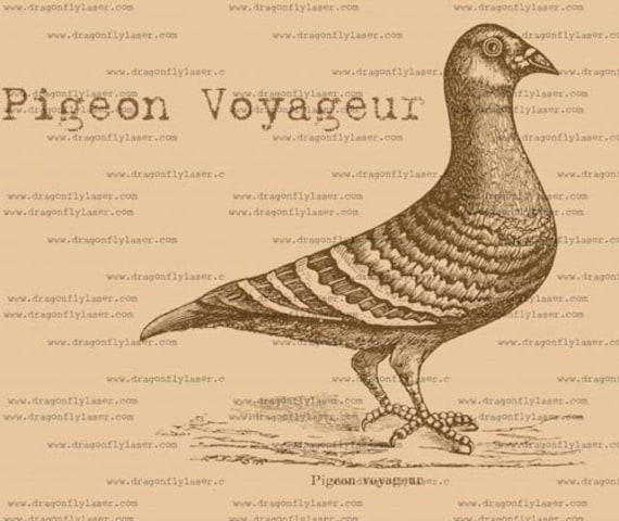 vintage style digital delivered image of a French pigeon