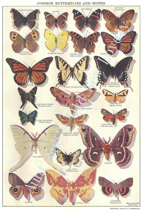Vintage 1950's Common Butterflies And Moths Illustration Chart For Framing