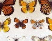 Still Life Butterfly Photograph, Botanical, Specimen Photo, Orange, Yellow, Butterflies, White Background, Nature Photography, Nursery Decor